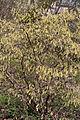 Corylopsis glabrescens - floraison.jpg