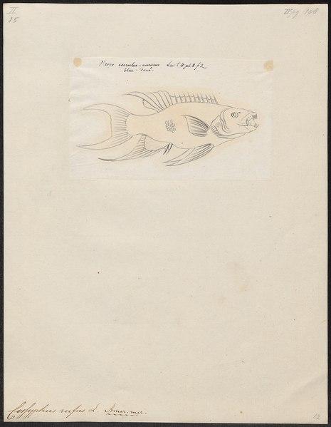 File:Cossyphus rufus - 1798-1876 - Print - Iconographia Zoologica - Special Collections University of Amsterdam - UBA01 IZ13900018.tif