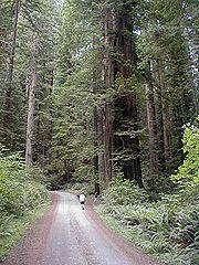Coast Redwood, Redwood National Park.