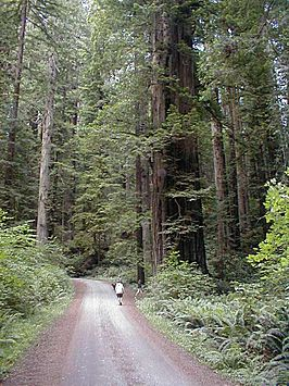 Kustmammoetbomen in het Redwood National Park