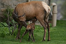 Photograph of a female elk (cow) and her calf