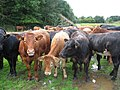 Cows Close Up - geograph.org.uk - 954495.jpg