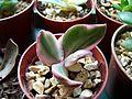 """Crassula ovata obliqua """"tricolor"""" (5022993300).jpg"""