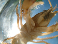Crayfish from below (5789174342).png