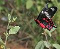 Crimson Rose (Atrophaneura hector) on Waltheria indica W2 IMG 9876.jpg
