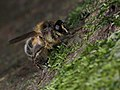 Criorhina pachymera (female), Parc de Woluwé, Bruxelles (41262697594).jpg