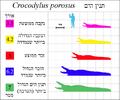 Crocodylus-porosus-size-Hebrew-01.png