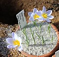 Crocus biflorus adamii BotGardMunich 20170225 B.jpg