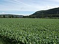 Crops in Strathglass - geograph.org.uk - 247813.jpg