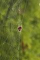 Cross Orbweaver (Araneus diadematus) - Kitchener, Ontario 2018-10-07 (02).jpg
