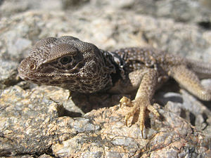 Wilmer W. Tanner - Tanner (and Smith) classified the desert collared lizard as a new species in 1972.