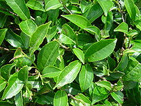 Tea leaves; Assam produces a significant porti...