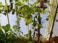 Cucurbitales - Lagenaria siceraria - 1.jpg