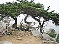 Cupressus macrocarpa Carmel.jpg
