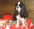 Cute puppy at Crufts (8652874338).jpg