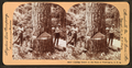 Cutting timber in the state of Washington, U.S.A, by Singley, B. L. (Benjamin Lloyd) 5.png
