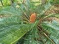 Cycas in garden in BRT Tiger Reserve ph 03.jpg