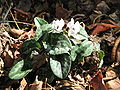 Cyclamen hederifolium Amaze Me white.jpg