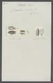 Cymothoa asellus - - Print - Iconographia Zoologica - Special Collections University of Amsterdam - UBAINV0274 098 11 0002.tif