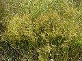 Cyperus haspan koazekt02.jpg