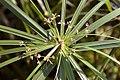 Cyperus involucratus 3zz.jpg