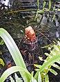Cypress knee (Taxodium distichum) 1.jpg
