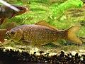 Cyprinidae Carassius carassius 1.jpg