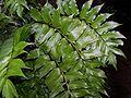Cyrtomium falcatum 001.jpg