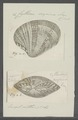 Cytherea erycina - - Print - Iconographia Zoologica - Special Collections University of Amsterdam - UBAINV0274 078 01 0016.tif