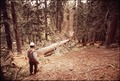 D.JACKSON FELLING RED FIR TREE - NARA - 542772.tif