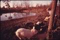 DARRELL GIPSON, 13, SON OF MR. AND MRS. WAYNE GIPSON, WHO LIVES NEAR GRUETLI, TENNESSEE, NEAR CHATTANOOGA, FEEDS PIGS... - NARA - 556608.tif