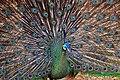 DGJ 4420B - Thailand Peacock (3741531705).jpg