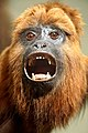 DSC09108 - Guyanan Red Howler Monkey (36384553204).jpg