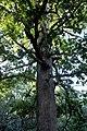 DSCF9888ed quercus vulcanica.jpg