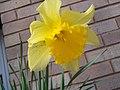 Daffodil yellow.jpg