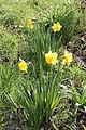 Daffodils, Glenmark.JPG