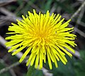 Dandelion by the Lagan - geograph.org.uk - 784663.jpg