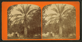 Date tree, in Dr. Peck's garden, from Robert N. Dennis collection of stereoscopic views.png