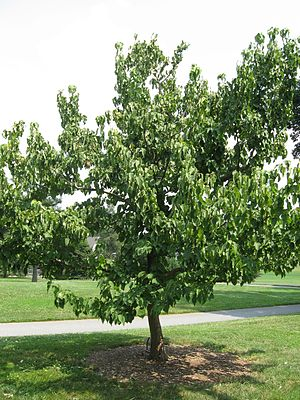 Davidia involucrata - Image: Davidia Involucrata Tree