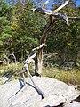 Dead tree on Panola Mountain - panoramio (1).jpg