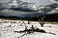 Dead trees at Mammoth Hot Springs 1.jpg