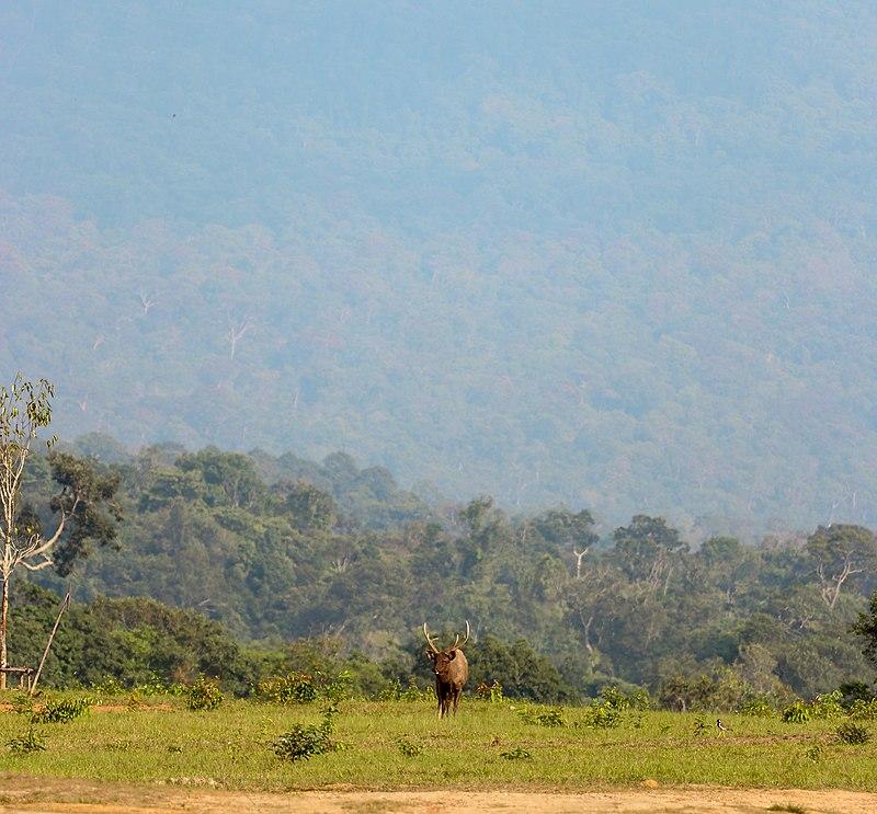 Deer, Khao Yai National Park, Nakhon Ratchasima province.jpg