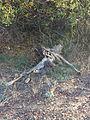 Deer Carcass.JPG