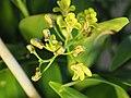 Dendrobium gracilicaule.jpg