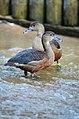 Dendrocygna javanica (Lesser Whistling Duck - Zwergpfeifgans) Weltvogelpark Walsrode 2012-002.jpg