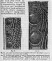 Descent of Man - Burt 1874 - Fig 60.png