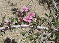 Desert peach Prunus andersonii flowers close.jpg
