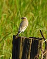 Desert wheatear kannur@kattampally birds - 6.jpg