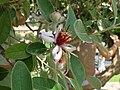 Dettaglio fiore albero roseto Roma.JPG