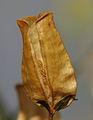 Diascia denticulata ÖBG 2012-07-08 (03).jpg